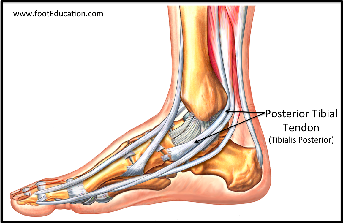 Tendon Disorders Of The Foot And Ankle Orthopaedia