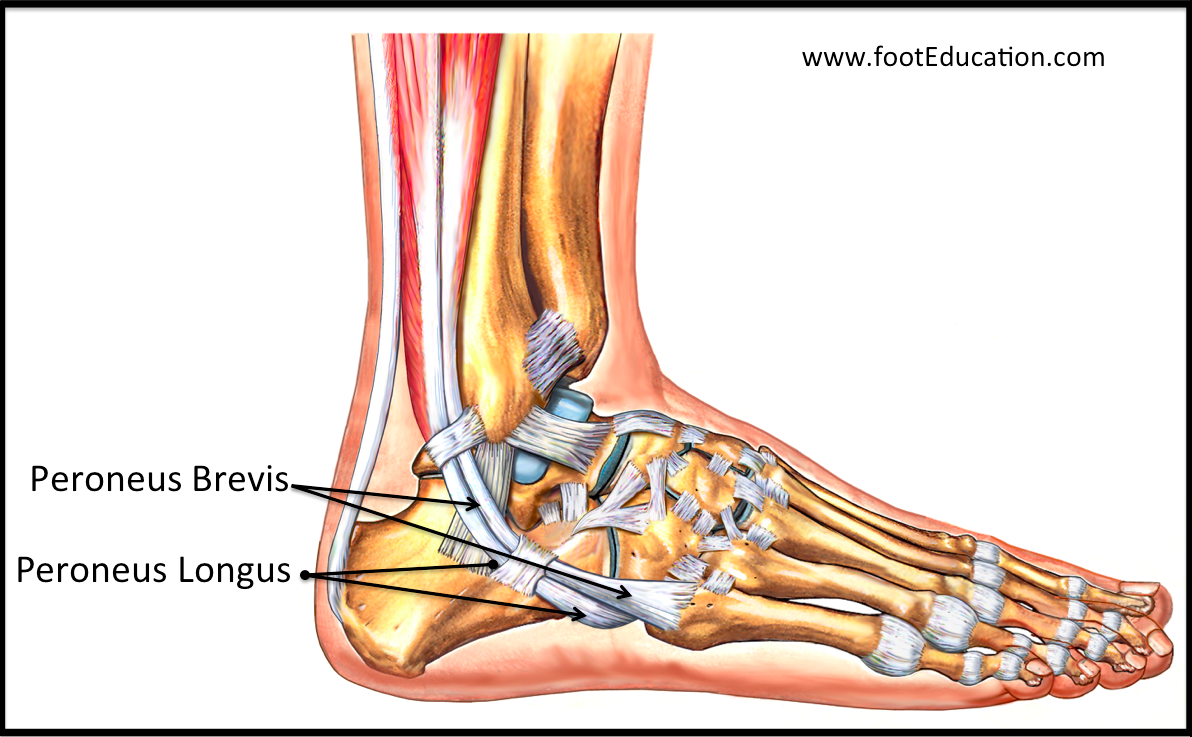 Image result for peroneal tendons