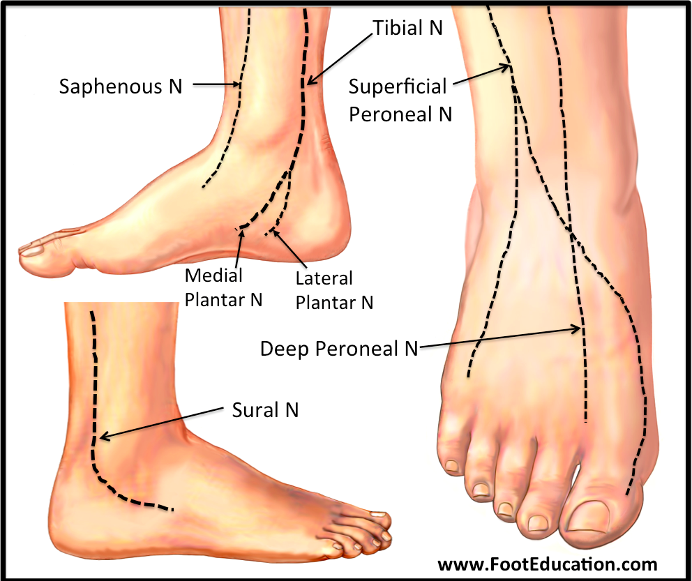 Anatomy Of The Foot And Ankle Orthopaedia